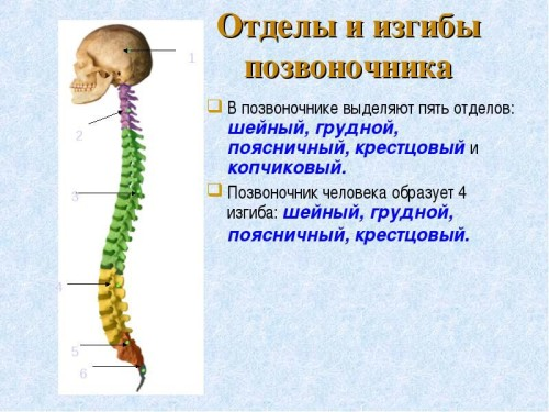 Позвоночник анатомия