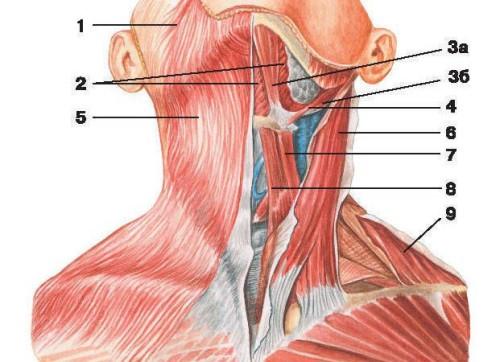 Шея анатомия